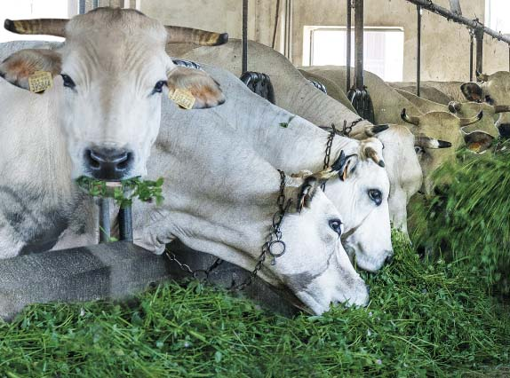 Bonino-alimentazione-con-erba-fresca-fresh-grass-diet-alimentation-élevage-avec-herbe-fraîche-pour-lait-de-meilleure-qualité