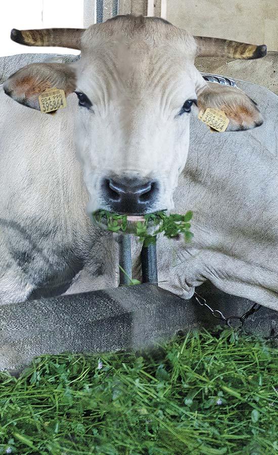 Bonino-alimentazione-con-erba-fresca-feeding-with-grazed-fourragement-en-vert