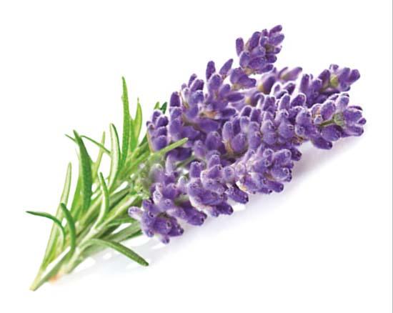 Bonino-macchina-raccolta-lavanda-harvester-lavandula-latifolia-récolteuse-de-lavande-máquina-recolectora-Kräuterernte-Lavendel