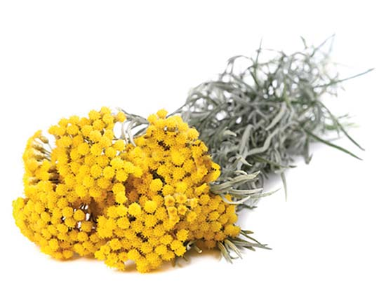 Bonino-macchina-raccolta-elicriso-helichrysum-collecting-machine-récolteuse-immortelle-máquina-recolectora-flor-eterna-Erntemaschine-für-Strohblumen